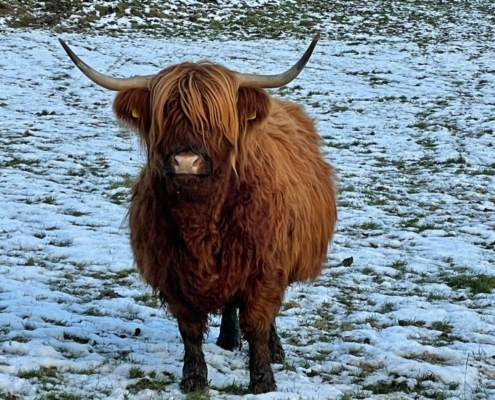 Glamping visitor Highland Cow