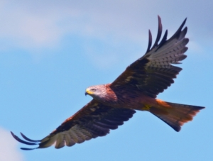 Stathpeffer gets a lot of Red Kites